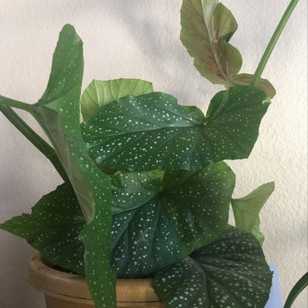 Photo of the plant species Angel Wing Begonia by Lilragan named Dots on Greg, the plant care app