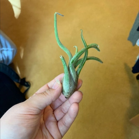 Photo of the plant species Ram's Horn by Kailyn named Achilles on Greg, the plant care app