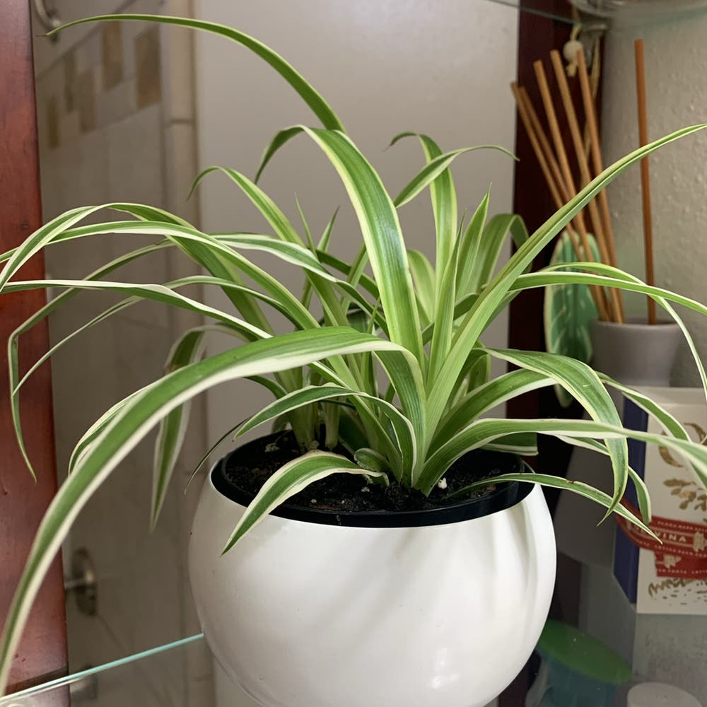 Photo of the plant species Spider Plant by Krazykellster named Gwen on Greg, the plant care app
