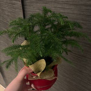 Norfolk Island Pine plant photo by Shilohandewe named Moose on Greg, the plant care app.