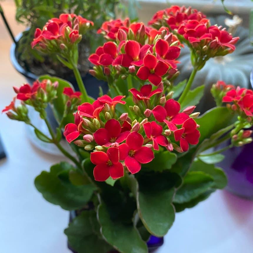 Florist Kalanchoe plant