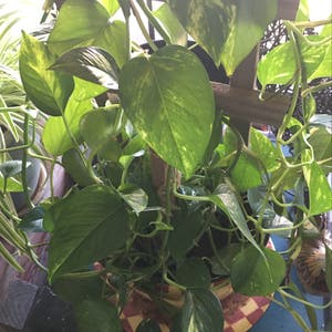 Pothos 'Jade' plant photo by Gamma4-3 named Ms D on Greg, the plant care app.