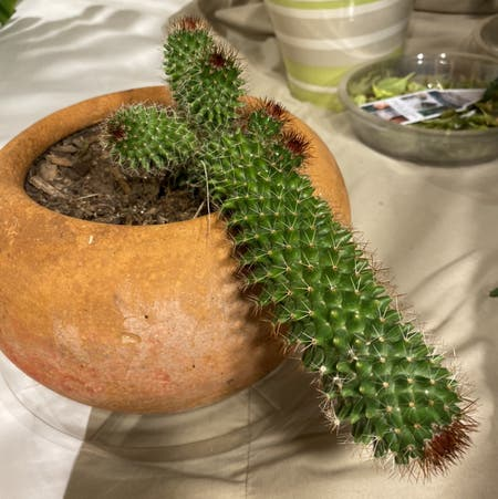 Photo of the plant species Mammillaria backebergiana by Minka named Weiner cactus on Greg, the plant care app