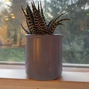Zebra Haworthia plant photo by Tewiewiora named Kevin on Greg, the plant care app.