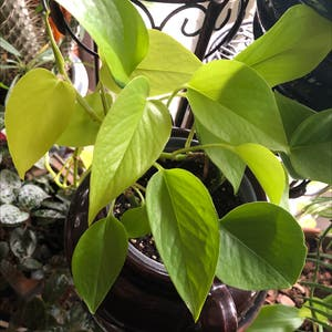 Rating of the plant Neon Pothos named Motley Crue by Wolfie on Greg, the plant care app