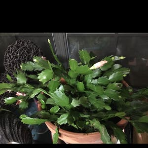 False Christmas Cactus plant photo by Gamma4-3 named Ms Alice  (Thanksgiving Cactus) on Greg, the plant care app.