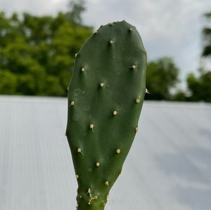 Few-spined marble-seeded prickly-pear plant photo by Kiersten named Acadia on Greg, the plant care app.