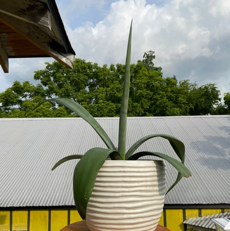 Photo of the plant species Sentry Plant by Kiersten named Dos Hombres on Greg, the plant care app