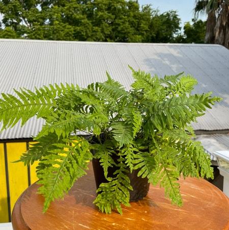 Photo of the plant species ET Fern by Kiersten named Fernie Sanders on Greg, the plant care app