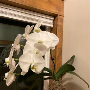 Phalaenopsis orchid plant photo by Cheryl named Orchid on Greg, the plant care app.