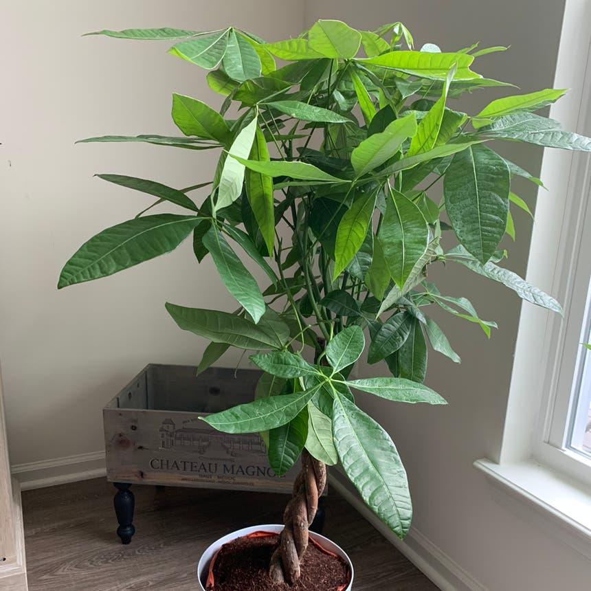 Money Tree plant in Philadelphia, Pennsylvania