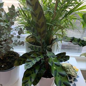 Rattlesnake Plant (prev. Calathea lancifolia) plant photo by Jenlcolon0825 named Hemingway on Greg, the plant care app.