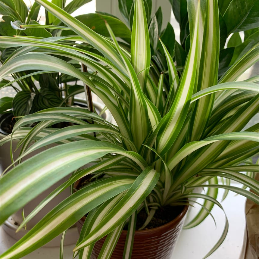 Spider Plant plant in Philadelphia, Pennsylvania