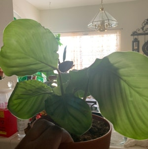 Round-leaf Calathea plant photo by Plantsong named Zdenka on Greg, the plant care app.