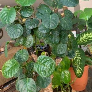 Balfour Aralia plant photo by Plantsong named Gladriel on Greg, the plant care app.