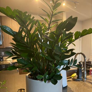 ZZ plant plant photo by Ashleyperry named Doja Cat on Greg, the plant care app.