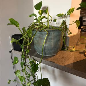 Golden Pothos plant photo by Ashleyperry named Marilyn on Greg, the plant care app.