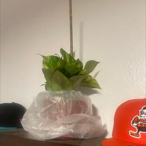 Golden Pothos plant photo by Queen named Mystical on Greg, the plant care app.