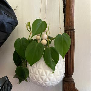 Heartleaf philodendron plant photo by Emily96 named Your plant on Greg, the plant care app.