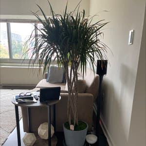 Open Weave Dragon Tree plant photo by Thiago named Dracaena on Greg, the plant care app.
