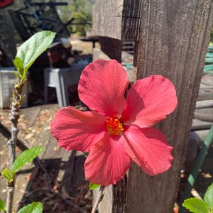 Chinese Hibiscus plant photo by Tessasplants named Maria on Greg, the plant care app.