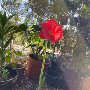 Striped-tubed Amaryllis plant photo by Tessasplants named Margerie on Greg, the plant care app.