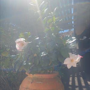 Brazilian jasmine plant photo by Tessasplants named Zalia on Greg, the plant care app.