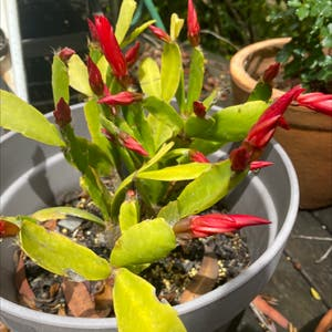 False Christmas Cactus plant photo by Tessasplants named Red Ruby on Greg, the plant care app.