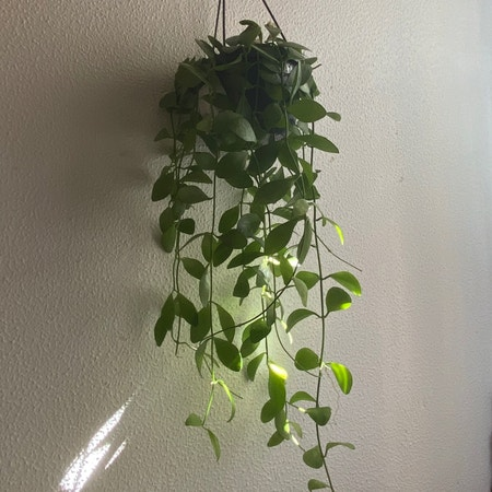 Photo of the plant species Dischidia imbricata by Shandaee named Atenea on Greg, the plant care app