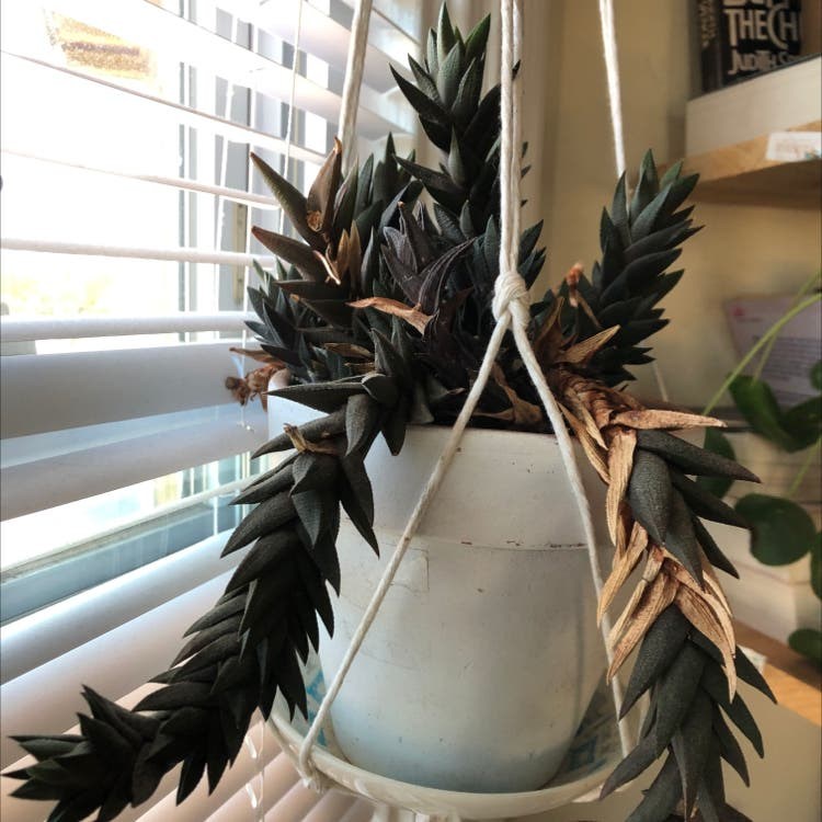 Haworthia fasciata plant