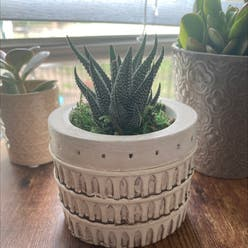 Zebra Haworthiopsis plant