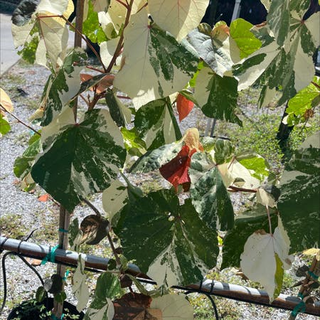 Photo of the plant species sea hibiscus by Alyssa  named Mystery on Greg, the plant care app