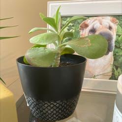 Flapjacks plant