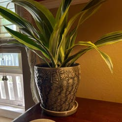 "Dracaena ""Warneckii' plant"