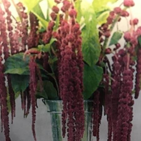 Photo of the plant species Velvet Flower by Linda named Amaranth Live Lies Bleeding on Greg, the plant care app