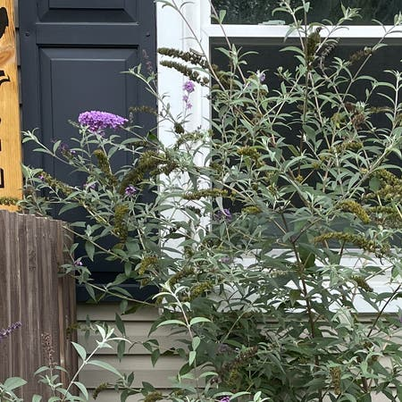 Photo of the plant species Butterfly bush by Alaina named Your plant on Greg, the plant care app