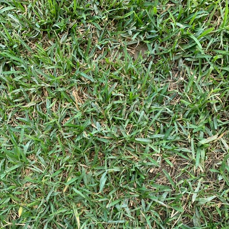Photo of the plant species Buffalo Grass by May named Pasto on Greg, the plant care app
