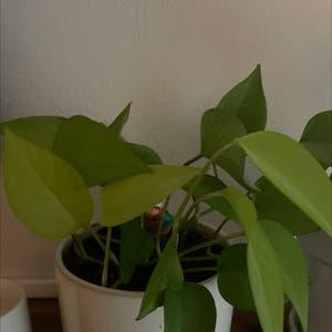 Golden Pothos plant photo by Alexander named Billie Eyeleaf on Greg, the plant care app.