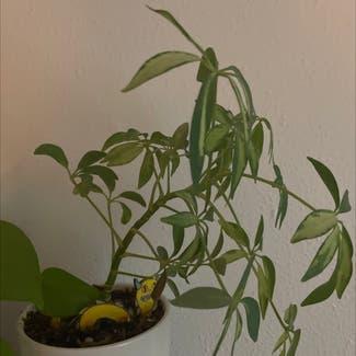Dwarf Umbrella Tree plant in Lynnwood, Washington