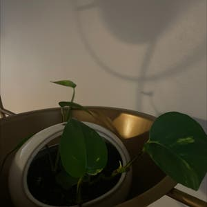 Golden Pothos plant photo by Alexander named Keanu Leaves on Greg, the plant care app.