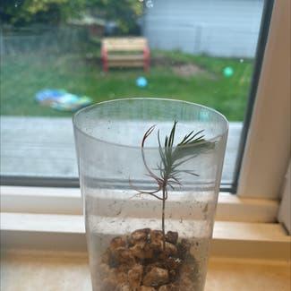 Bristlecone Pine plant in Lynnwood, Washington