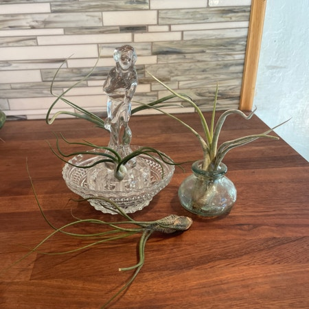 Photo of the plant species Pseudobaileyi Air Plant by Ashlie named The Fae on Greg, the plant care app