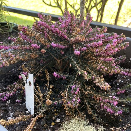 Photo of the plant species Erica Carnea by Glindamoonfal named The Heathers on Greg, the plant care app