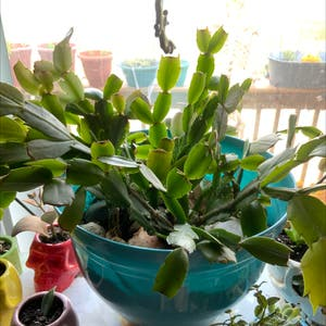 False Christmas Cactus plant photo by Esperaqua named Determined Boi on Greg, the plant care app.