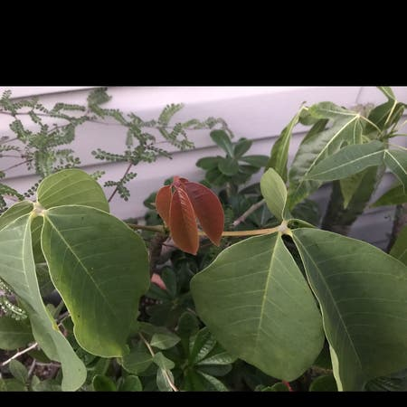 Photo of the plant species Pseudobombax Ellipticum by Zbigniew named Your plant on Greg, the plant care app