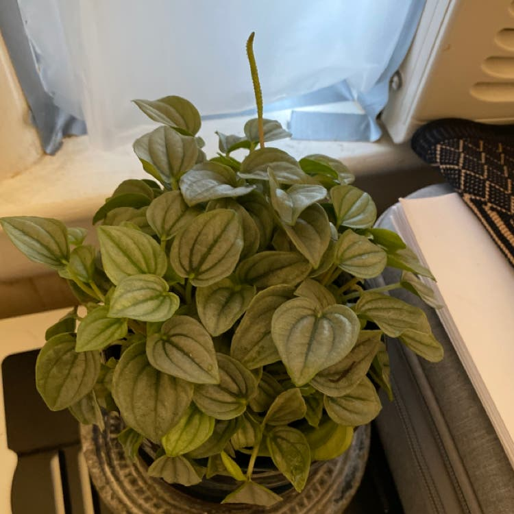 Silver Frost Peperomia plant