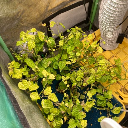 Photo of the plant species Carolina Reaper by Dakota named Your plant on Greg, the plant care app
