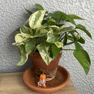 Golden Pothos plant photo by Mariel named Queeny on Greg, the plant care app.