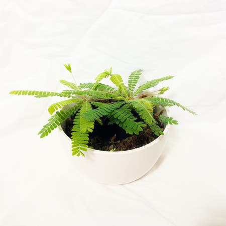 Photo of the plant species Little Tree Plant by Crazyfoliagegirl named Pietro and Wanda on Greg, the plant care app
