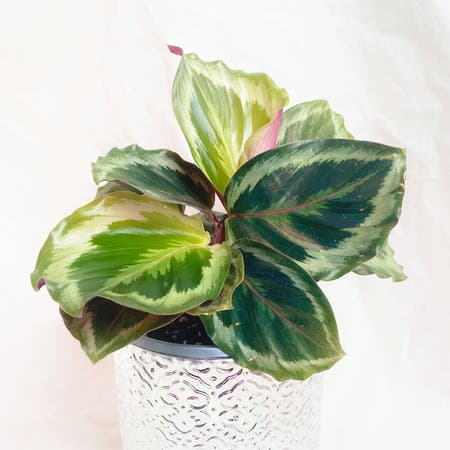 Photo of the plant species Calathea 'Julia' by Crazyfoliagegirl named Julia on Greg, the plant care app